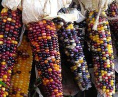 Cherokee Long Ear Small Popcorn 28 g Organic Seeds, Grow Organic, Organic Cotton, Flint Corn, Glass Gem Corn, Colored Popcorn, Popcorn Seeds, Seed Storage, Seed Packaging