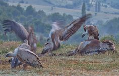 Vultures....the angry birds ;-)