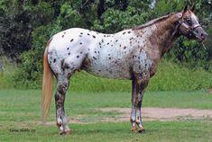 Appaloosa Horses, Animals And Pets, Painting, Poster, Pets, Painting Art, Paintings, Painted Canvas, Drawings