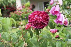 I haven hos Evigglade ♥: X-Faktor - Romantiske Roser er røde