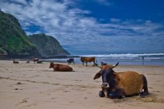 "Cows on the beach at Coffee Bay in South Africa.  An Eastern Cape gem, this beach is all about getting away from it all. Famous for being the ""biggest"" village near to the even more famous Hole-in-the-Wall rock formation  #Coffeebay"