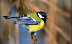 Parus Major, Great Tit, Cute Birds, Colorful Birds, Colour Schemes, Bird Art, Beautiful Birds, Illustration Art, Cute Animals