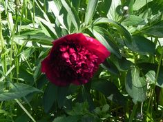 die Pfingstrosen öffnen sich Garden, Plants, Pentecost, Garten, Gardening, Plant, Outdoor, Gardens, Yard