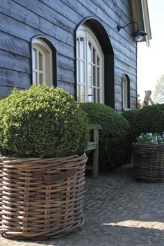 wicker basket planter with round boxwood ball – Exterior Boxwood Planters, Boxwood Landscaping, Large Outdoor Planters, Basket Planters, Garden Planters, Boxwood Garden, Garden Basket, Wicker Planter, Formal Gardens