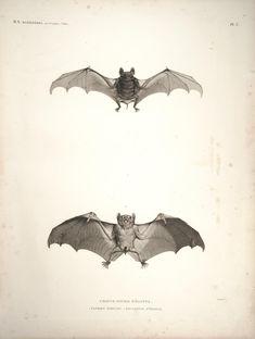 2 bats. Description de l'Égypte Histoire naturelle, Plates Paris,Imprimerie impériale,1809-28. Biodiversitylibrary. Biodivlibrary. BHL. Biodiversity Heritage Library