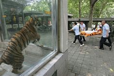A tiger looks at zoo employees carrying Tigger on a stretcher during a tiger escape drill in China's Chengdu Zoo on June 2, 2011.