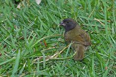Name in Spanish:  Gorrión Negro; Name in English:  Black Sparrow.  Seen in Isabela, Puerto Rico.