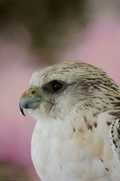 """Gryfalcon... young bird....and it was just amazing looking into its eyes....such a beautiful bird! So alert, and aware of everything around it. I can't wait to get some more pictures of this amazing bird.....enjoy! p.s. """"thanks for the help on this one Aaron!"""""""