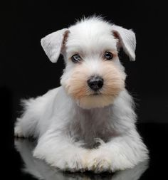 darling mini schnauzer