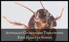 Are Australian Cockroaches Threatening Your Family in Sydney? German Cockroach, Cockroach Control, Roaches, North Shore, Your Family, Pest Control, Sydney, Oriental, American