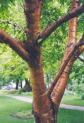 Prunus maackii, tuohituomi