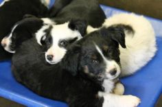 SUPER URGENT - DON´T HESITATE, THEY KILL BABIES TOO Collie Mixes  Lab Mixes  Available 1/2/14   $35 to adopt   LOCATED AT ODESSA TEXAS ANIMAL CONTROL https://www.facebook.com/photo.php?fbid=704707019553539&set=a.654205721270336.1073741850.248355401855372&type=3&theater