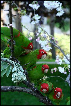 Wild parrots of San Francisco | Flickr - Photo Sharing!