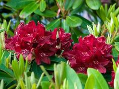 Rhododendron x 'Henry's Red' - Marcel Lavallière Paysagiste