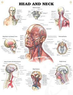 Head and Neck anatomy poster depicts muscles, veins, nerves and arteries of the head and neck for patient and classroom instruction.