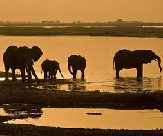 Elephants traipse through African marshlands, providing a unique backyard for honeymooners.