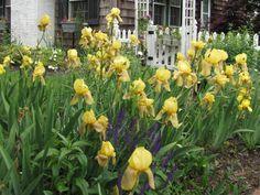 Yellow bearded iris guide to care