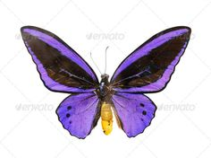 Realistic Graphic DOWNLOAD (.ai, .psd) :: http://jquery.re/pinterest-itmid-1006971575i.html ... butterfly ...  animal, background, blue, bright, butterfly, insect, isolated, purple, violet, white  ... Realistic Photo Graphic Print Obejct Business Web Elements Illustration Design Templates ... DOWNLOAD :: http://jquery.re/pinterest-itmid-1006971575i.html