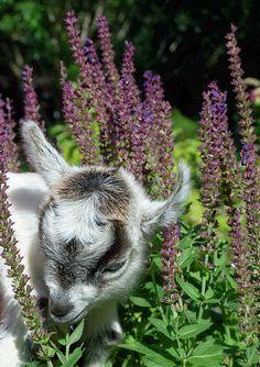 Pygmy Goat Kid by TheBigWRanch12, via Flickr