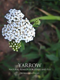 Natural Remedy for Fever and Flu - Yarrow - Elderberry Flower - Peppermint - Mullein - Calendula