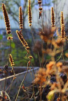 Agastache rugosa in September sun