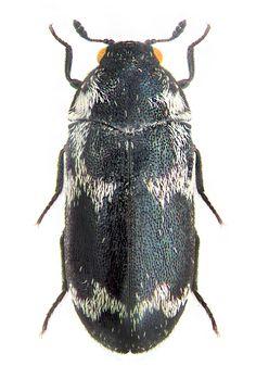 Megatoma undata ussuriensis