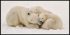 Polar bear mother and cubs- pg.43  Controlla su http://www.zenoarte.com/stampe-poster-roma/ i formati in cui può essere stampata