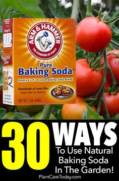 30 Ways To Use Natural Baking Soda In The Garden is part of Baking soda uses - 30 uses for baking soda in the garden Baking soda plays a vital part of green cleaning and has many uses in the house, but also in the garden [LEARN MORE] Baking Soda Drain Cleaner, Baking Soda Water, Baking Soda Shampoo, Baking Soda Uses, Honey Shampoo, Dry Shampoo, Permaculture, Gardening For Beginners, Gardening Tips