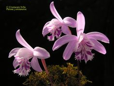 Species of province Yunnan China, has long stems and nice pink flowers.  albiflora.be
