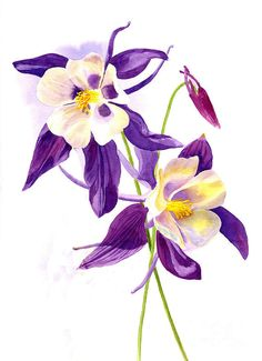 Two Purple Columbine Flowers Art Print by Sharon Freeman.  All prints are professionally printed, packaged, and shipped within 3 - 4 business days. Choose from multiple sizes and hundreds of frame and mat options.
