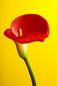A red calla lily photographed against a bright yellow background. Calla Lillies, Calla Lily, Yellow Plants, Red Green Yellow, World Of Color, Happy Colors, Color Themes, Color Combos, Red Color