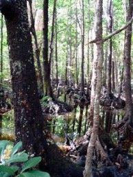 Mangrove forest on the Thorsborne Trail. Photo: Tamara Vallance, NPRSR.Hinchinbrook Island National Park  Hinchinbrook  Queensland Australia