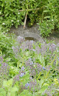Flower of borago in a meadow in la spezia