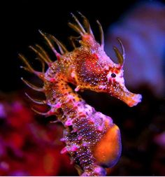 Short Head Seahorse (Hippocampus breviceps)
