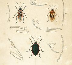 Antique engraving ; #Insects, coleoptera ORIGINAL ENGRAVING, NOT A COPY. This print is taken from the Dictionnaire Universel d'Histoire Naturelle, a publication directed by ... #orbigny #zoological #insects #entomology