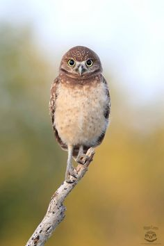 A gorgeous image of this young Burrowing Owl in Florida, USA thanks to Megan Lorenz Photography.