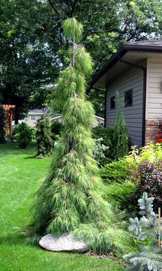 Pinus Strobus 'Angel Falls' - grows 10' tall by 4 ' feet. Needs full sun. Great accent tree