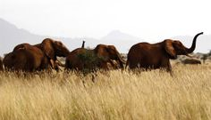 Elephant march Elephant herds are seen during their aerial census at the Tsavo West National Park on Feb. 4. The elephant is Kenya's flag-ship species and so its distribution and condition is a good indicator of the status of wildlife.