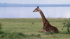 """It's apparently time to start worrying about giraffes. While they don't get the attention of elephants or other high-profile animals on the brink, new numbers from a conservation group show a startling decline: The world had 140,000 giraffes in 1999, and it has 80,000 today.  """"It's a silent extinction,"""" Dr. Julian Fennessy, Executive Director of the Namibian-based Giraffe Conservation..."""