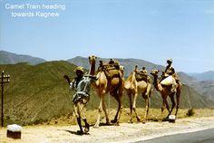 Camels on Massawa Road