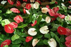 Flamingoblumen giftige pflanzen giftige blumen