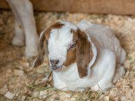 A newborn Boer goat in his stall at Biltmore Estate's Antler Hill Village.