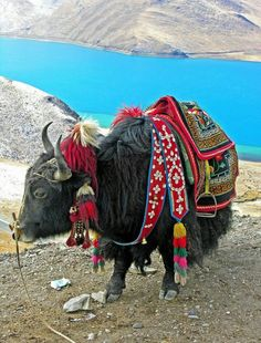 A fully dressed Tibetan Yak
