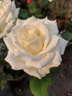 Beautiful Rose Flowers, Love Rose, Flowers Nature, Exotic Flowers, Amazing Flowers, White Roses, White Flowers, Red Roses, Rose Reference