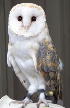 originally labeled as a barn owl, but I'm not sure that's accurate. Thoughts?
