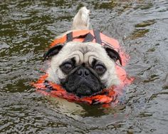 PUGS and all 'snub-nosed dogs'  should never be put in water for obvious reasons, even a drop of water getting into their lungs can cause them to drown... if they are going to be around water, put a life jacket on them... while you are laughing it up and thinking it's so cute or funny, they are struggling to get to safety... it's just plain cruel... This baby is not having fun, look into those eyes... this baby is wondering why you are doing this...