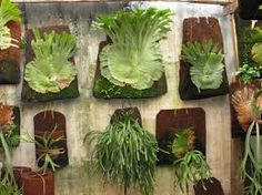 Image result for platycerium