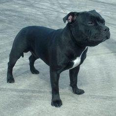 Staffordshire Bull Terrier- just like Kingi!!