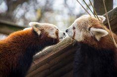 Conheça o Adorável Panda Vermelho!