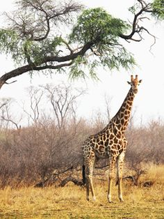 Botswana, Africa. African safari? Yes!